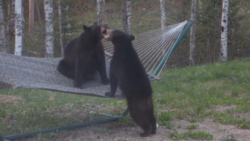 """两只小熊因争抢吊床大打出手,急得狂飙""""脏话"""",看完别笑!"""