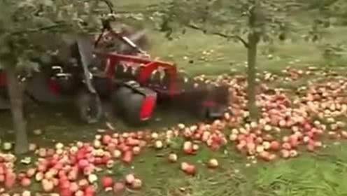 苹果还能这么收,太机械化了,简直是采摘神器!