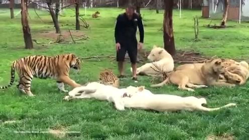 饲养员被豹子偷袭,老虎护主心切一把按到豹子,好惊险啊