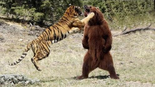 老虎饿的精神恍惚,误把狗熊当山羊,扑上去一口怀疑虎生!