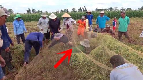 村民收割稻田发现宝贝,一张巨网盖住水稻,接下来疯狂抓捕!