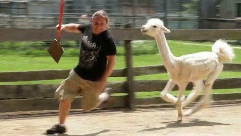 羊驼剪毛后疯狂报复主人,气死宝宝了,被镜头记录全过程