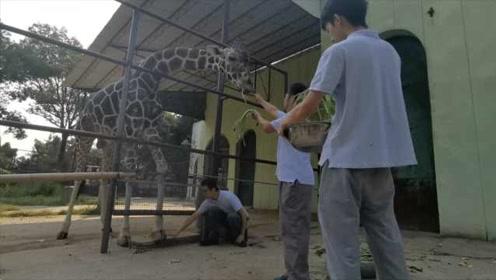 容易吗?长颈鹿修脚美甲还要拍X光片:缺乏运动长太快