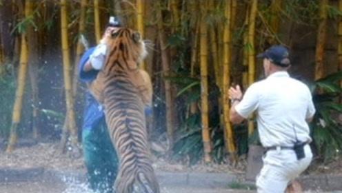 为什么老虎吃了人必须要杀掉,不杀会怎样?镜头拍下全过程!