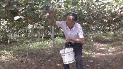 他回济南平阴种猕猴桃,30万斤产量仅接10万斤订单