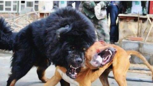中国藏獒和美国的比特犬,到底谁更厉害?答案出乎意料