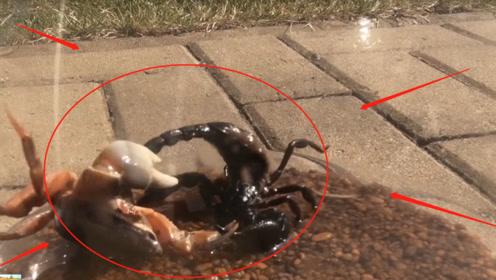 老外镜头实录,万圣节螃蟹VS黑蝎子?谁能最终全身而退呢