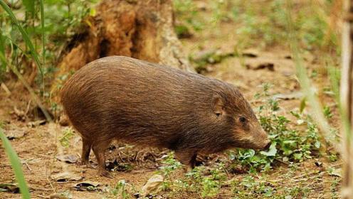世界上最小的野猪体型如小猫