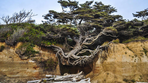 美国这棵神奇的树,悬空在两座山中间,没土却活了300多年