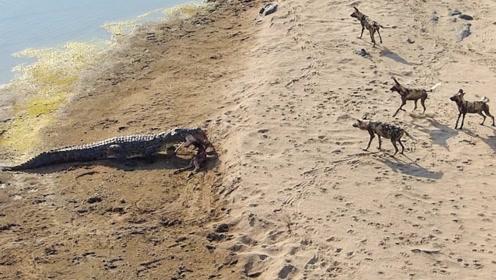 野狗在岸边吃饭,不料一条鳄鱼游了过来,结局让人出乎意料