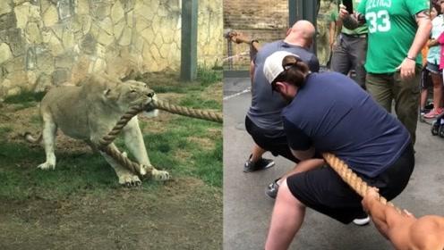 狮子的力量有多大?3名摔跤手与狮子拔河,结果你意想不到!