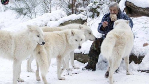 为什么狼遇到人类婴儿,会养大而不是吃掉?看完解开来多年疑惑!