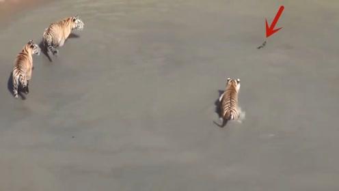 一鸭戏5虎,面对5只老虎的追杀,鸭子再现神奇走位一战成名