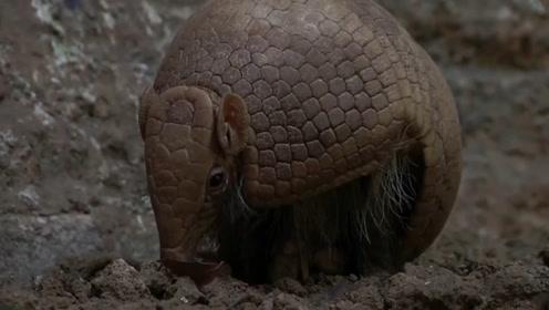"""它是外壳最坚硬的动物,遇到危险缩成一个""""球"""",子弹都无可奈何"""