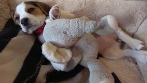 主人换着花样叫比格犬起床,它对外界的干扰都置之不理,只想睡觉