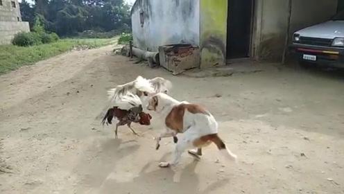 两只公鸡打得不可开交,狗狗上前劝架,镜头拍下全过程