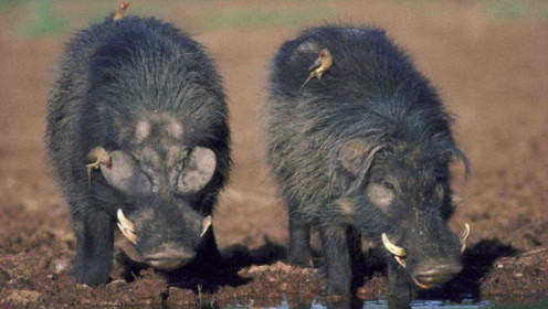 世界上最强悍的猪,轻松秒杀狮子,最终却败在人类手上