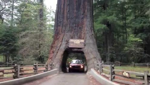 美国为了修路,竟将一棵千年大树掏空,如今他们却后悔不已!