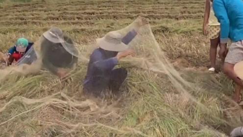 村民们收割水稻,在田里集体捕捉野味,没一会儿就收获满满!