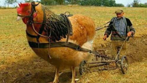"""地表最强""""古巨鸡"""",身高可达1.2米,网友表示:一锅炖不下!"""
