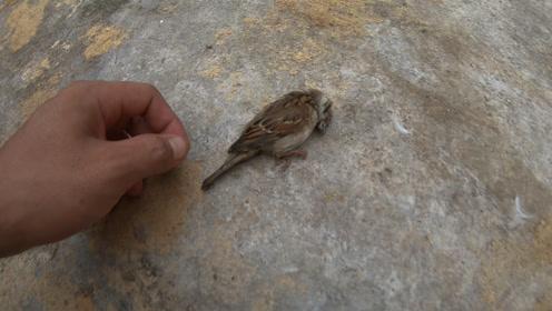 可怜的小鸟,飞了一下就死掉了,难道是中暑?