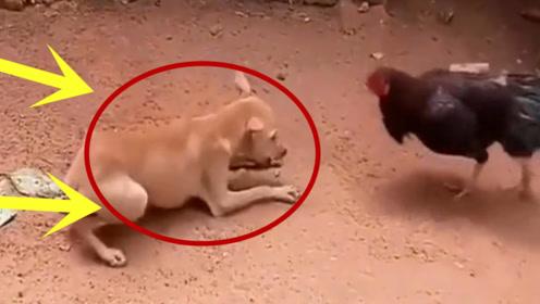 狗子:虽然我已经倒下了,但我的气势一直都是稳压它一头的!