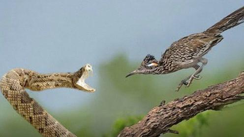 响尾蛇的克星竟是一只鸟?一旦遇见它,响尾蛇逃跑都来不及