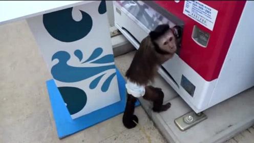 猴子用自动售货机,一套动作一气呵成,网友:快去上学吧!