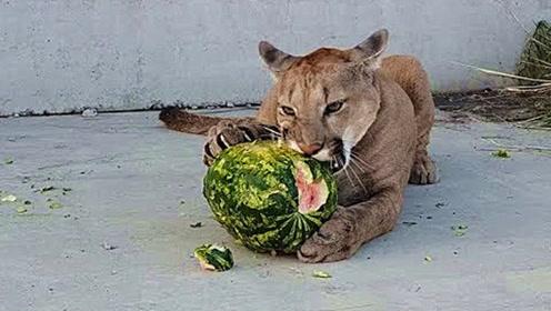 美洲狮喜欢吃西瓜吗?主人给它一个大西瓜,圆圆的西瓜美洲狮愁了
