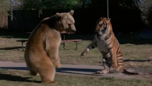 棕熊VS孟加拉虎,老虎却没打赢,只因这熊有800多斤