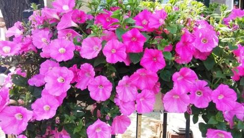 在花盆里撒一把它太厉害了,花卉涨的个个爆盆,很多人想要却不知