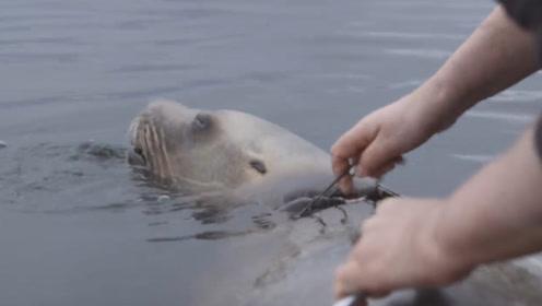 海豹被绳子缠绕多年,当救援人员拿下绳子时,瞬间泪奔了!