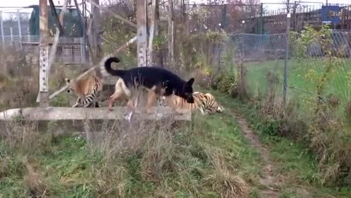狗:不要玩弄小孩!和狗狗一起长大的虎,看着真是胆颤心魄啊