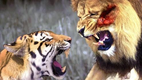 老虎来到非洲会怎样?从各方面分析,最终结果十分无奈!
