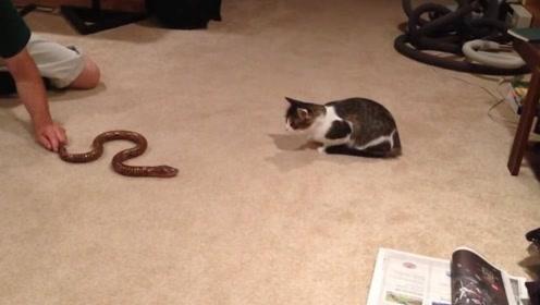 主人用假蛇逗猫咪,下一秒让人笑的肚子疼,这猫咪会飞了?