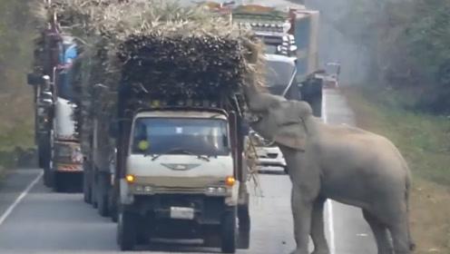 大象逼停大货车,只为偷吃一根甘蔗,司机的举动太暖心了
