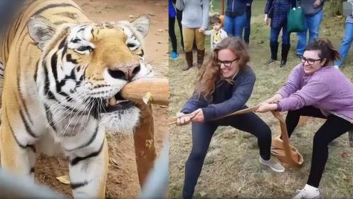 """老虎的力气有多大?两美女跟老虎""""拔河"""",结果意外发生了!"""