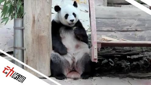 """旅泰19岁大熊猫""""创创""""离世 中泰双方将共同调查死因"""