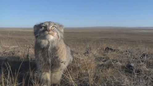"""男子上山捡到一只猫,带回家养半年,没想到野猫变成""""小豹子""""!"""