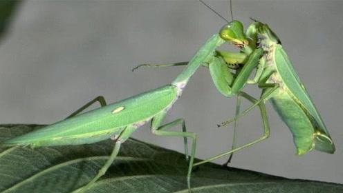 母螳螂为什么会吃掉公螳螂?这个视频解开了我多年疑惑