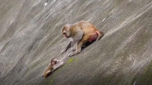 最残忍的母亲!猴妈妈直接把小猴子推下悬崖,镜头记录全程