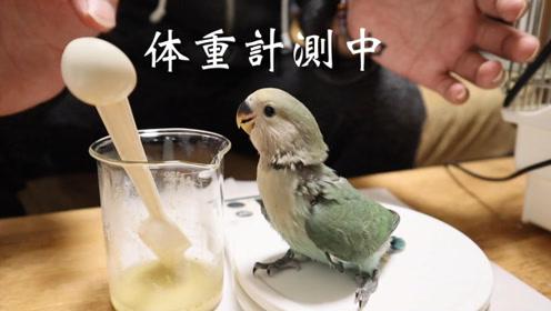 人工喂养小鹦鹉,这嘴巴跟电动马达似的,好可爱