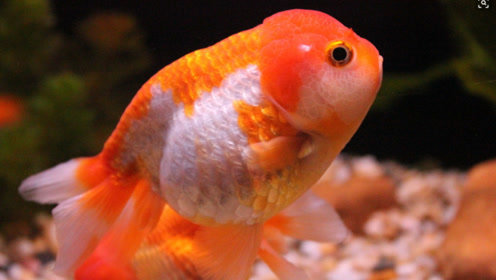 中国人连蛇都敢吃,为什么却不敢吃金鱼?金鱼有那么恐怖吗