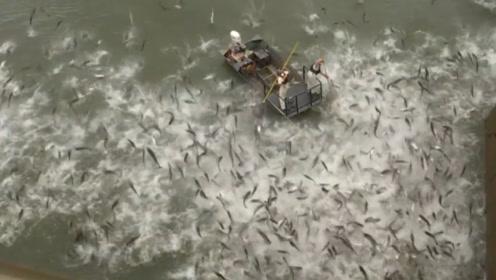 """美国电网杀""""入侵鲤鱼"""",河水瞬间沸腾,现场尸横遍野"""
