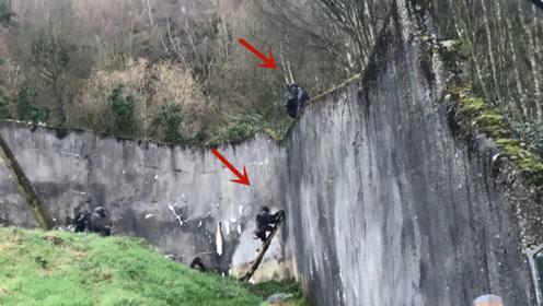 动物园猩猩用树干当梯子,上演集体大逃亡,现实版猩球崛起!