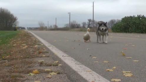 二哈和鸭子结伴离家出走,面对这两个二货,真的是哭笑不得