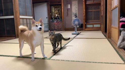 狗狗和猫咪在一起总能找到乐子,你追我赶可开心了