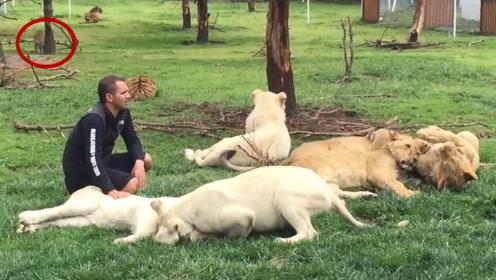 豹子偷袭饲养员,老虎上来就是一个大耳光,老虎:竟敢动我的人