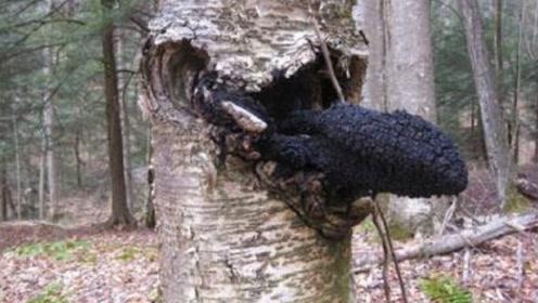 """白桦树生了一种""""怪病"""",树干长出神秘""""黑物"""",价值比黄金还高"""