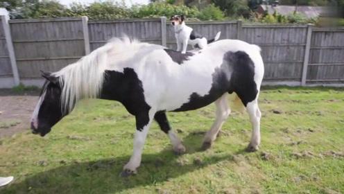 英国小奶狗自己学会骑马 马背驰骋又酷又拉风